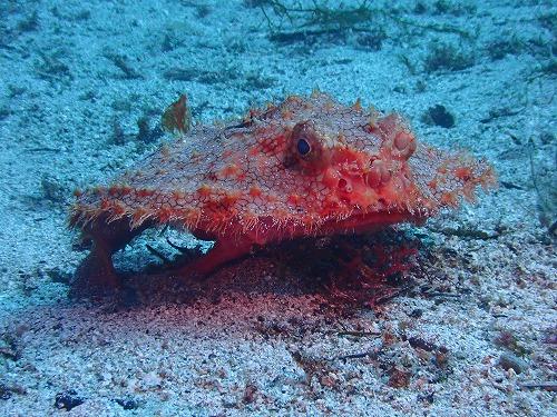 深海魚のアカグツ!